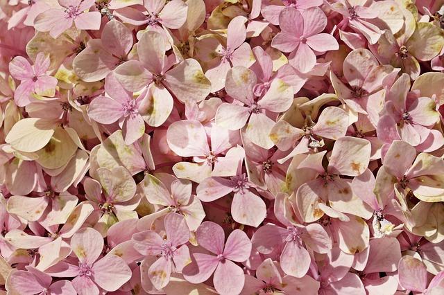 Inilah Penjelasan Lengkap dari Arti Bunga Hydrangea