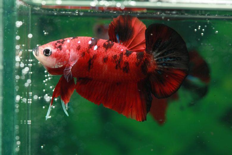Memahami Ikan Cupang Koi, Ikan Hias Eksotis yang Tak Ditemukan di Alam Bebas